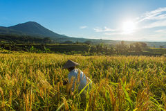 Γυναίκα που εργάζεται στον τομέα ρυζιού στο Μπαλί Στοκ Φωτογραφία