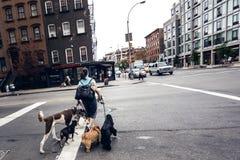 Γυναίκα που διασχίζει το δρόμο με τα σκυλιά Στοκ Φωτογραφία