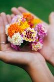Γυναίκα που κρατά μια ανθοδέσμη των λουλουδιών latana στα χέρια της θερινές άγρια περιοχές λουλουδιών Στοκ Φωτογραφίες