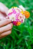 Γυναίκα που κρατά μια ανθοδέσμη των λουλουδιών latana στα χέρια της θερινές άγρια περιοχές λουλουδιών Στοκ φωτογραφία με δικαίωμα ελεύθερης χρήσης