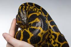 Γυναίκα που κρατά το κίτρινο anaconda Στοκ Φωτογραφία