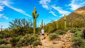 Γυναίκα που μέσω του ημι τοπίου ερήμων του περιφερειακού πάρκου βουνών Usery με πολλούς κάκτους Saguaru, Cholla και βαρελιών Στοκ Εικόνες