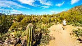 Γυναίκα που μέσω του ημι τοπίου ερήμων του περιφερειακού πάρκου βουνών Usery με πολλούς κάκτους Saguaru, Cholla και βαρελιών Στοκ φωτογραφία με δικαίωμα ελεύθερης χρήσης