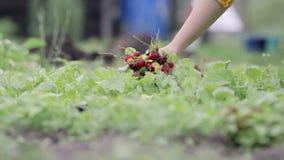 Γυναίκα που συλλέγει το ραδίκι στο αγρόκτημά τους απόθεμα βίντεο