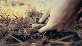 Γυναίκα που συλλέγει τα εδώδιμα μανιτάρια στο δάσος το φθινόπωρο Charbonnier ή sooty επικεφαλής Tricholoma μανιταριών portentosum απόθεμα βίντεο