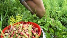 Γυναίκα που συλλέγει την άγρια φράουλα απόθεμα βίντεο