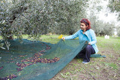 Γυναίκα που συλλέγει τις ελιές στη συγκομιδή ελιών καθαρή Στοκ Φωτογραφία