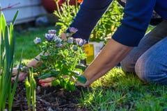 Γυναίκα που φυτεύει τα λουλούδια στον κήπο Στοκ Εικόνες
