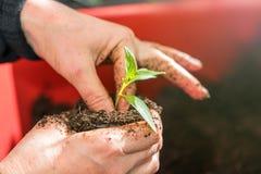 Γυναίκα που φυτεύει τα σπορόφυτα στο θερμοκήπιο στοκ εικόνα με δικαίωμα ελεύθερης χρήσης