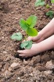 Γυναίκα που φυτεύει τους νεαρούς βλαστούς φραουλών Στοκ Εικόνα