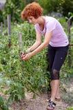 Γυναίκα στον κήπο ντοματών Στοκ εικόνα με δικαίωμα ελεύθερης χρήσης