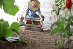 Γυναίκα στο φυτικό κήπο που κρατά το ξύλινο κιβώτιο με τα αγροτικά λαχανικά Συγκομιδή φθινοπώρου και υγιής οργανική τροφή στοκ φωτογραφία με δικαίωμα ελεύθερης χρήσης