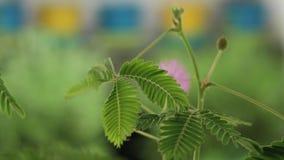 Γυναίκα σχετικά με τα φύλλα Mimosa Pudica, επίσης γνωστά ως ευαίσθητο φυτό, νυσταλέο φυτό, αφή-εμένα-όχι ή ντροπαλό φυτό απόθεμα βίντεο