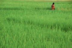 Γυναίκες σε έναν τομέα ρυζιού, νησιά Andaman Στοκ Εικόνες