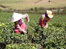 Γυναίκες στους τομείς τσαγιού στοκ φωτογραφία με δικαίωμα ελεύθερης χρήσης