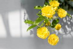 Γυναικεία Banks' τριαντάφυλλα (Rosa Banksiae Lutea) πέρα από το ομοιόμορφο υπόβαθρο στοκ εικόνες