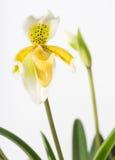 γυναικείο μίνι orchid παντόφλα Στοκ Εικόνες