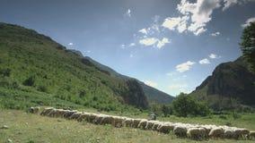 Γωνία που πυροβολείται ευρεία των προβάτων στα λιβάδια βουνών απόθεμα βίντεο