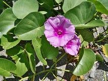 5-γωνιακός ρόδινο λουλούδι Στοκ εικόνες με δικαίωμα ελεύθερης χρήσης