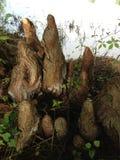 Γόνατα δέντρων Distichum Taxodium (φαλακρό κυπαρίσσι) δίπλα στη λίμνη Στοκ Φωτογραφία