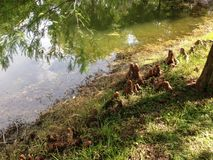 Γόνατα δέντρων Distichum Taxodium (φαλακρό κυπαρίσσι) δίπλα στη λίμνη Στοκ φωτογραφίες με δικαίωμα ελεύθερης χρήσης