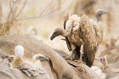 Γύπας ακρωτηρίων που τρώει έναν νεκρό βούβαλο στο εθνικό πάρκο Kruger Στοκ φωτογραφία με δικαίωμα ελεύθερης χρήσης