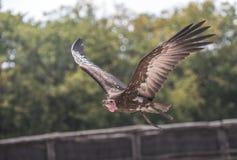 Γύπας γύπων κατά την πτήση μόνο στο ζωολογικό κήπο το καλοκαίρι στο χρώμα σχεδιαγράμματος στοκ φωτογραφίες
