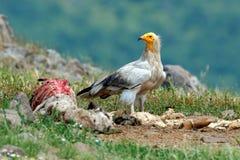Γύπας με το σφάγιο Αιγυπτιακός γύπας, percnopterus Neophron, μεγάλη συνεδρίαση πουλιών του θηράματος στην πέτρα, βουνό βράχου, βι Στοκ φωτογραφίες με δικαίωμα ελεύθερης χρήσης