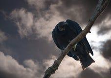 Γύπας που κοιτάζει κάτω από μια treetop αναμονή για να σας φάει επάνω Στοκ εικόνες με δικαίωμα ελεύθερης χρήσης