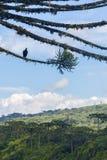 Γύπας σε ένα δάσος angustifolia αροκαριών σε Itaimbezinho από μπαμπού Στοκ φωτογραφία με δικαίωμα ελεύθερης χρήσης