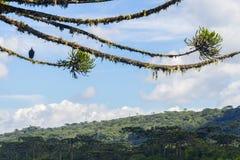 Γύπας σε ένα δάσος angustifolia αροκαριών σε Itaimbezinho από μπαμπού Στοκ εικόνες με δικαίωμα ελεύθερης χρήσης