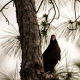 Γύπας της Τουρκίας που περιμένει σε ένα δέντρο, μεγάλη εθνική κονσέρβα κυπαρισσιών, Στοκ φωτογραφία με δικαίωμα ελεύθερης χρήσης