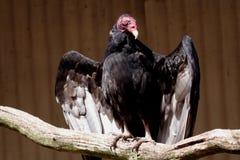 γύπας Στοκ Φωτογραφία