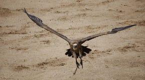 γύπας Στοκ Εικόνα