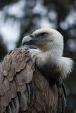 γύπας fulvus griffon gyps Στοκ Φωτογραφία