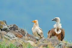 Γύπας Griffon και αιγυπτιακός γύπας, μεγάλη συνεδρίαση πουλιών του θηράματος στην πέτρα, βουνό βράχου, βιότοπος φύσης, Madzarovo, Στοκ φωτογραφία με δικαίωμα ελεύθερης χρήσης