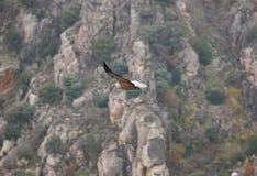Γύπας Griffon που πετά πέρα από μια περιοχή απότομων βράχων Ισπανία Στοκ Φωτογραφία