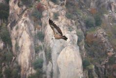 Γύπας Griffon που πετά πέρα από μια περιοχή απότομων βράχων Ισπανία Στοκ Φωτογραφίες