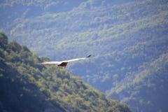 Γύπας Griffon στις βαρονίες, που πετούν και που εξετάζουν το έδαφος στοκ φωτογραφία