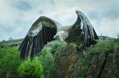 Γύπας Griffon Στοκ Εικόνες