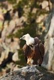Γύπας Griffon, fulvus Gyps, μεγάλη συνεδρίαση πουλιών του θηράματος στην πέτρα, βουνό βράχου, βιότοπος φύσης, Ισπανία στοκ φωτογραφία με δικαίωμα ελεύθερης χρήσης