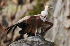 Γύπας Griffon, fulvus Gyps, μεγάλη συνεδρίαση πουλιών του θηράματος στην πέτρα Γύπας στο βουνό βράχου Γύπας στο βιότοπο φύσης, Στοκ φωτογραφίες με δικαίωμα ελεύθερης χρήσης