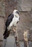 Γύπας Lammergeier πουλιών στοκ εικόνες
