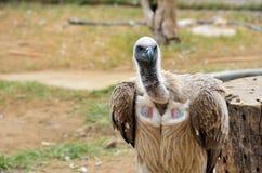 Γύπες στο κέντρο Rehab άγριας φύσης Moholoholo, Νότια Αφρική Στοκ Φωτογραφία
