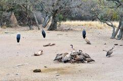 Γύπες στο κέντρο Rehab άγριας φύσης Moholoholo, Νότια Αφρική Στοκ Εικόνες