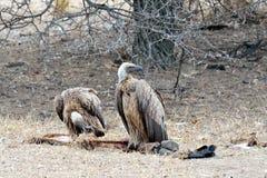 Γύπες στο κέντρο Rehab άγριας φύσης Moholoholo, Νότια Αφρική Στοκ εικόνα με δικαίωμα ελεύθερης χρήσης