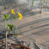Γύρη στο νερό και kingcup τα λουλούδια Στοκ φωτογραφία με δικαίωμα ελεύθερης χρήσης