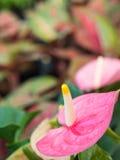 Γύρη του ρόδινου Anthurium λουλουδιού Στοκ φωτογραφία με δικαίωμα ελεύθερης χρήσης