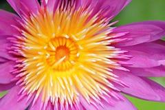Γύρη του Lotus Στοκ φωτογραφία με δικαίωμα ελεύθερης χρήσης