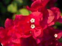 Γύρη των λουλουδιών Bougainvillea Στοκ Εικόνα